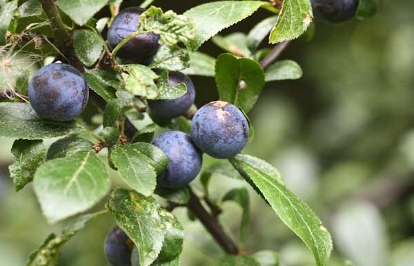 What Is Sloe Gin?